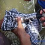 Vaksinasi Ikan, Efisien dan Penting