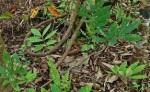 Tangkal Hama Tambak dengan Pestisida Nabati