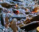 Budidaya Ikan dan Ketahanan Pangan