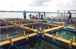 aktivitas budidaya kerapu di Tanjung Rusa, Belitung