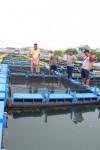 Campur Pellet Dengan Ikan Rucah, Turunkan Biaya Pakan