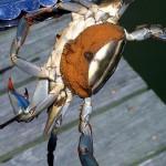 Foto 2 (www.chesapeakebay.net)